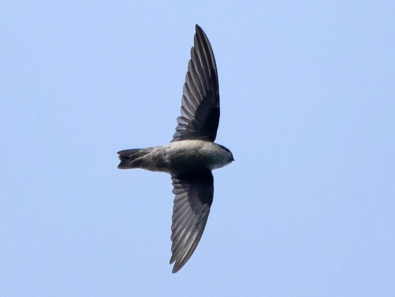 Philippine Swiftlet - Ayuwat Jearwattanakanok