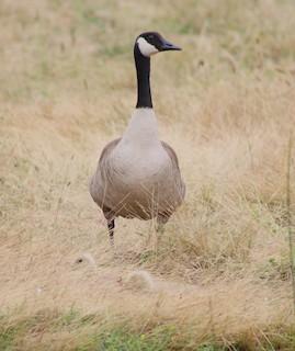 Canada Goose, ML35458331