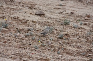 Eurasian Collared-Dove, ML354612231