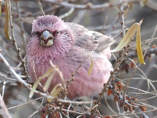 - Red-mantled Rosefinch