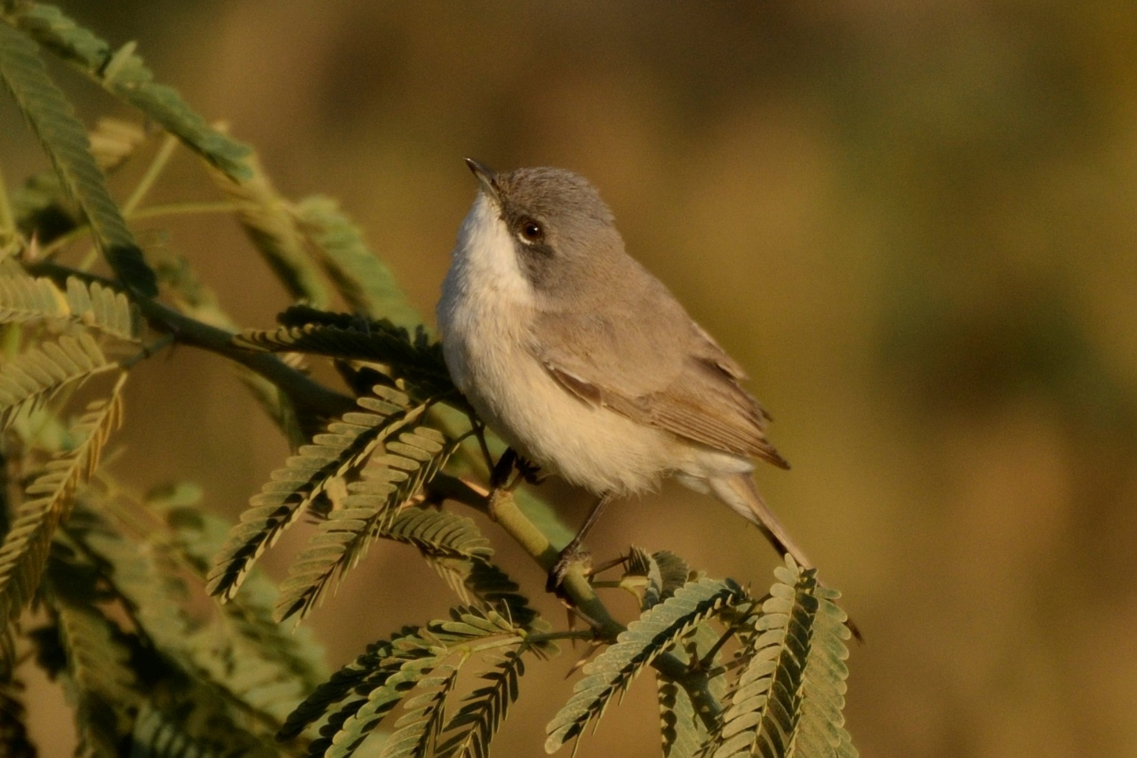 Lesser Whitethroat - Abhiram Sankar