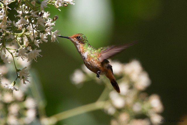 Short-crested Coquette