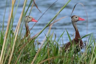 Black-bellied Whistling-Duck, ML355274911
