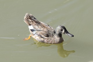 Blue-winged Teal, ML355389331