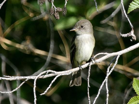 Willow Flycatcher (Southwestern)