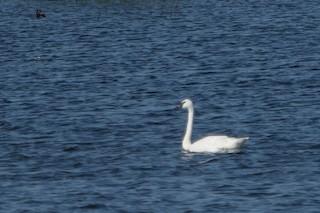 Trumpeter Swan, ML355853231