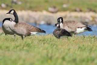 Cackling Goose, ML35588831