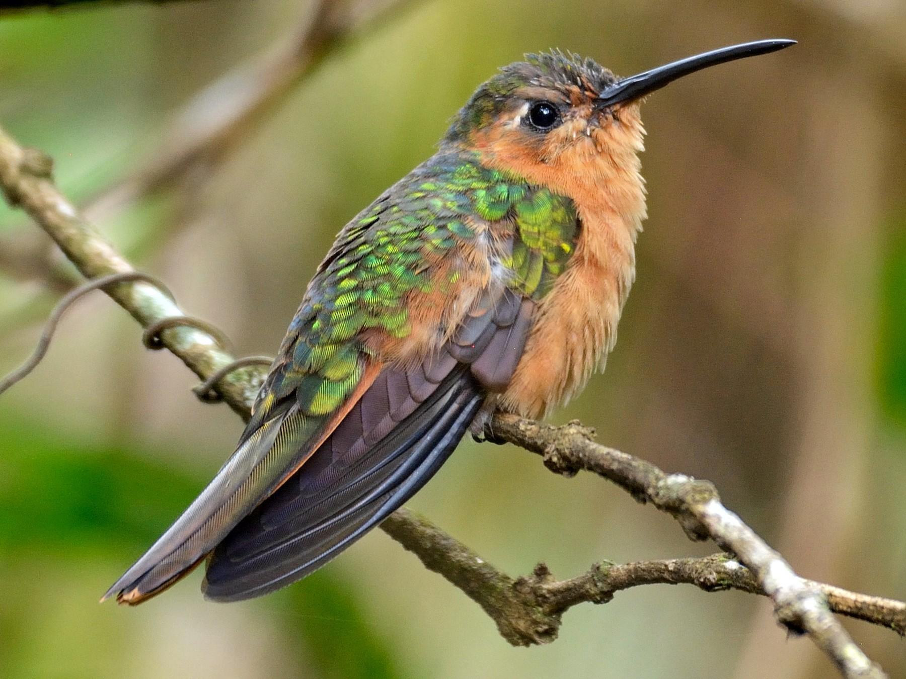 Rufous Sabrewing - Miguel Aguilar @birdnomad