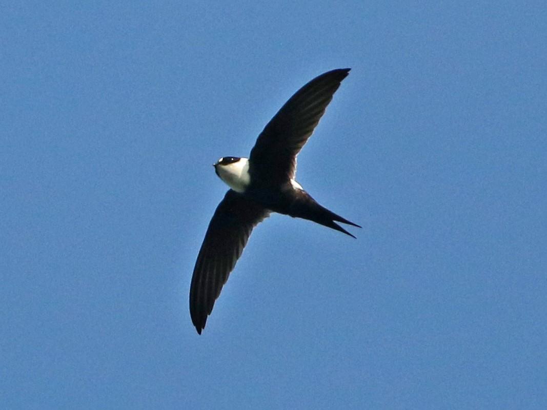 Lesser Swallow-tailed Swift - Luke Seitz