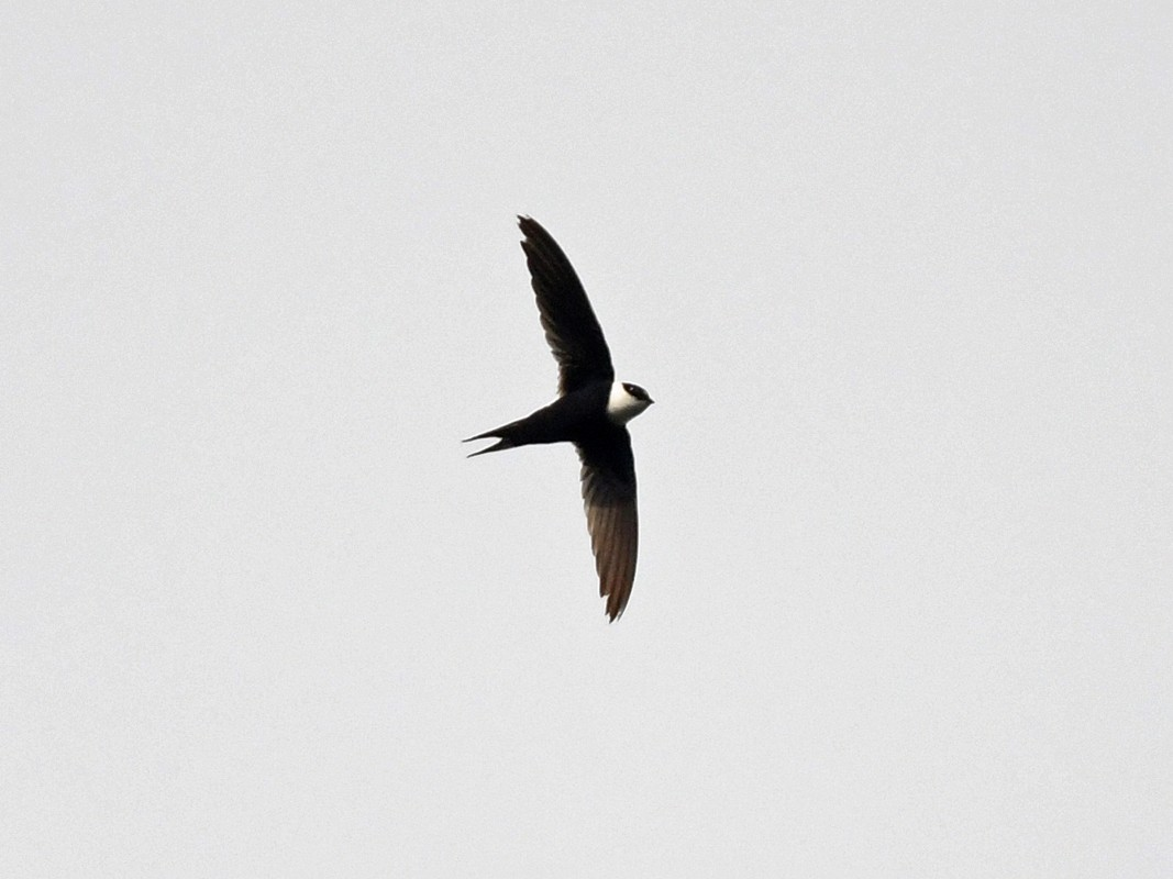 Lesser Swallow-tailed Swift - Joshua Vandermeulen