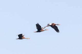 Black-bellied Whistling-Duck, ML356662121