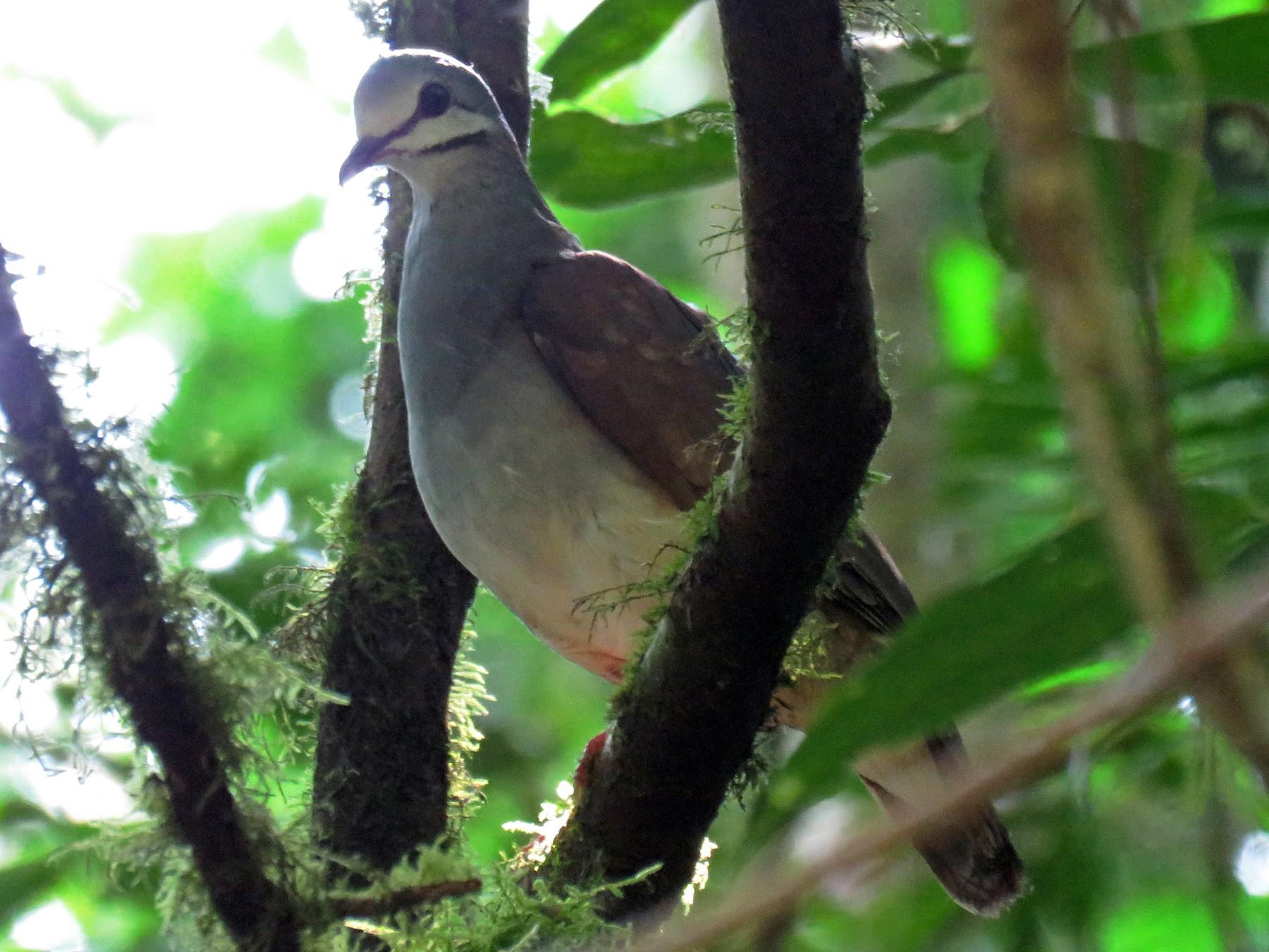 Tuxtla Quail-Dove - Braulio Malaga