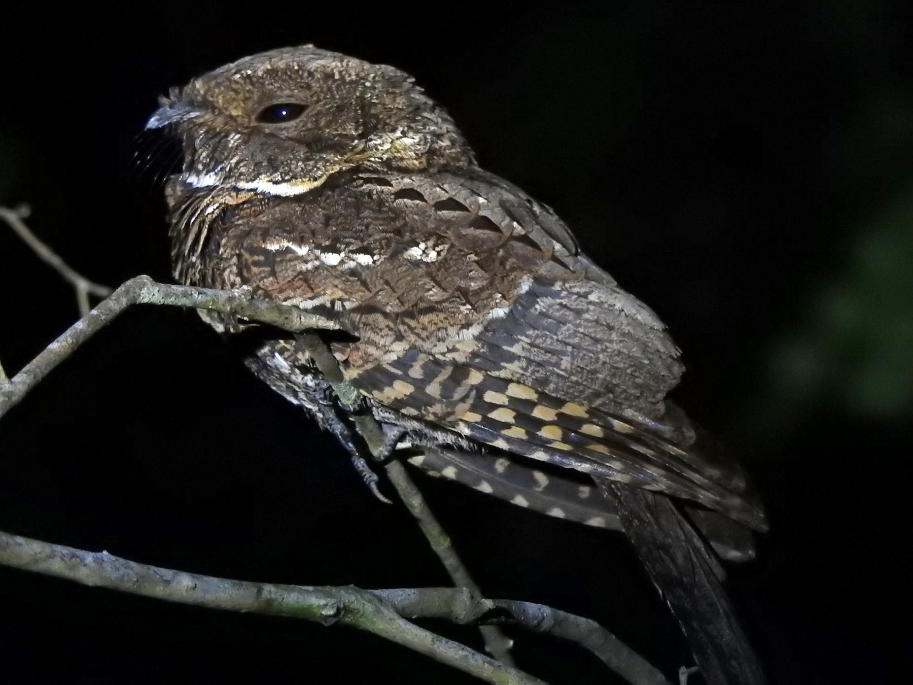 Yucatan Poorwill - Angel F. Castillo Birding Tours