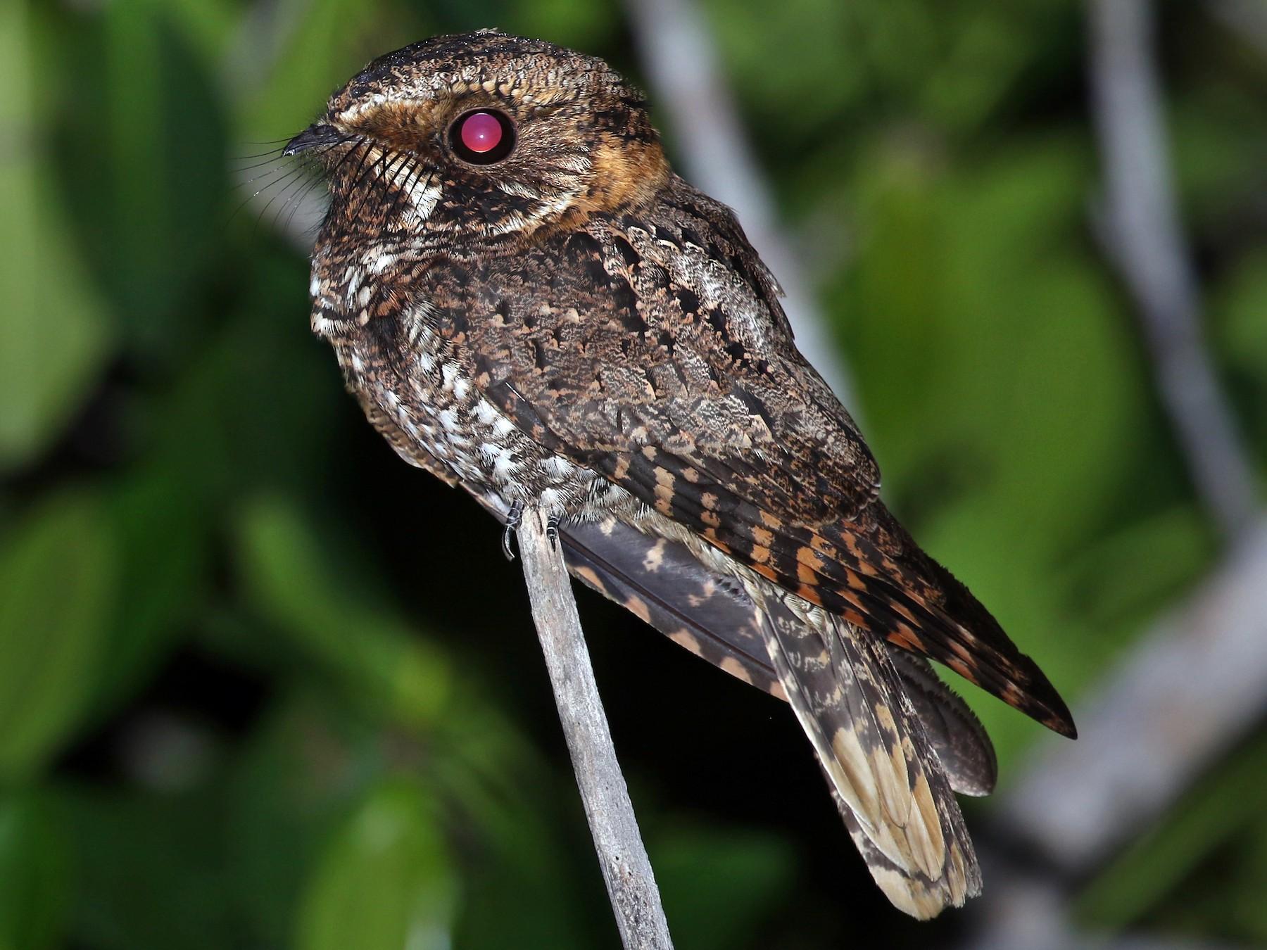 Yucatan Nightjar - Andrew Spencer