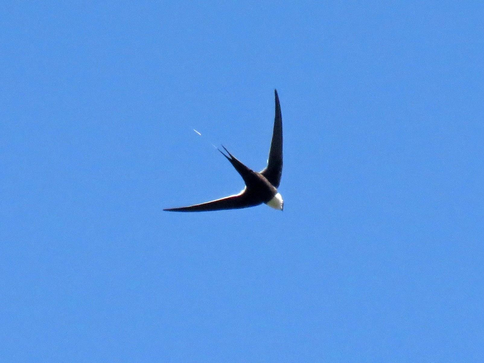 Great Swallow-tailed Swift - John van Dort