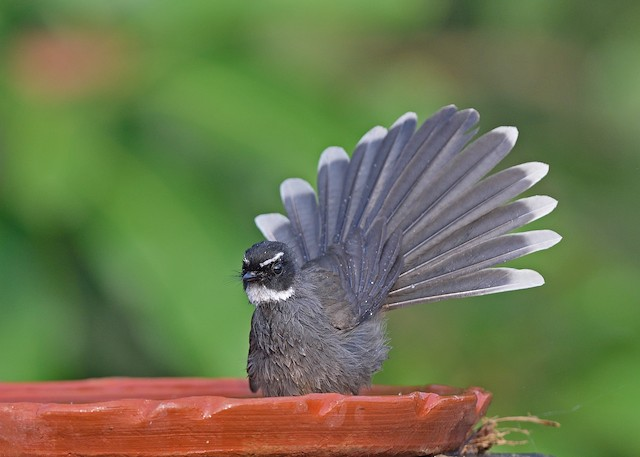 White-throated Fantail ML357594031