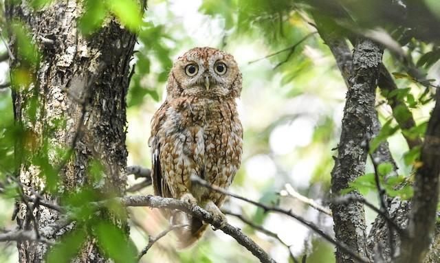 Eastern Screech-Owl ML357640671