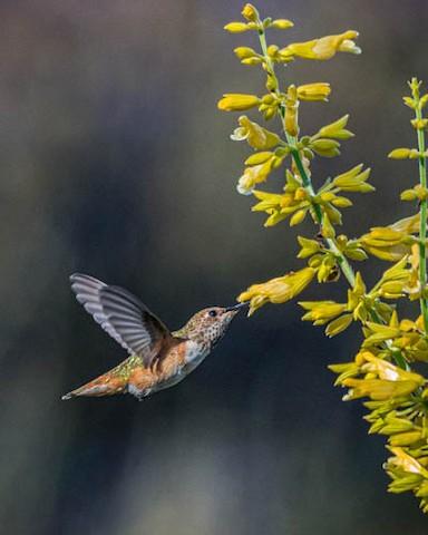 Allen's Hummingbird - James Kendall