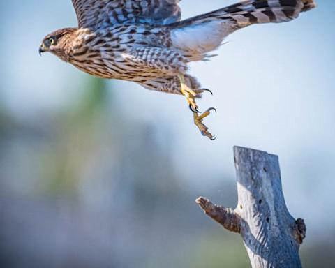 Cooper's Hawk - James Kendall