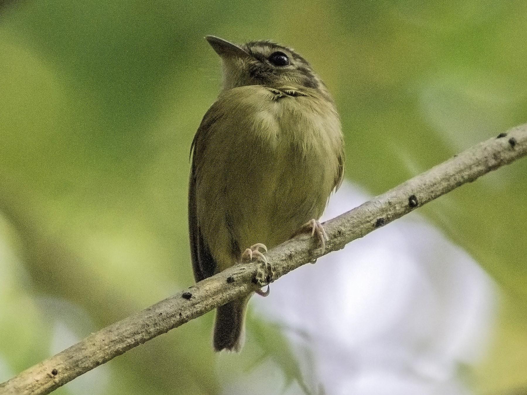 Stub-tailed Spadebill - Roni Martinez