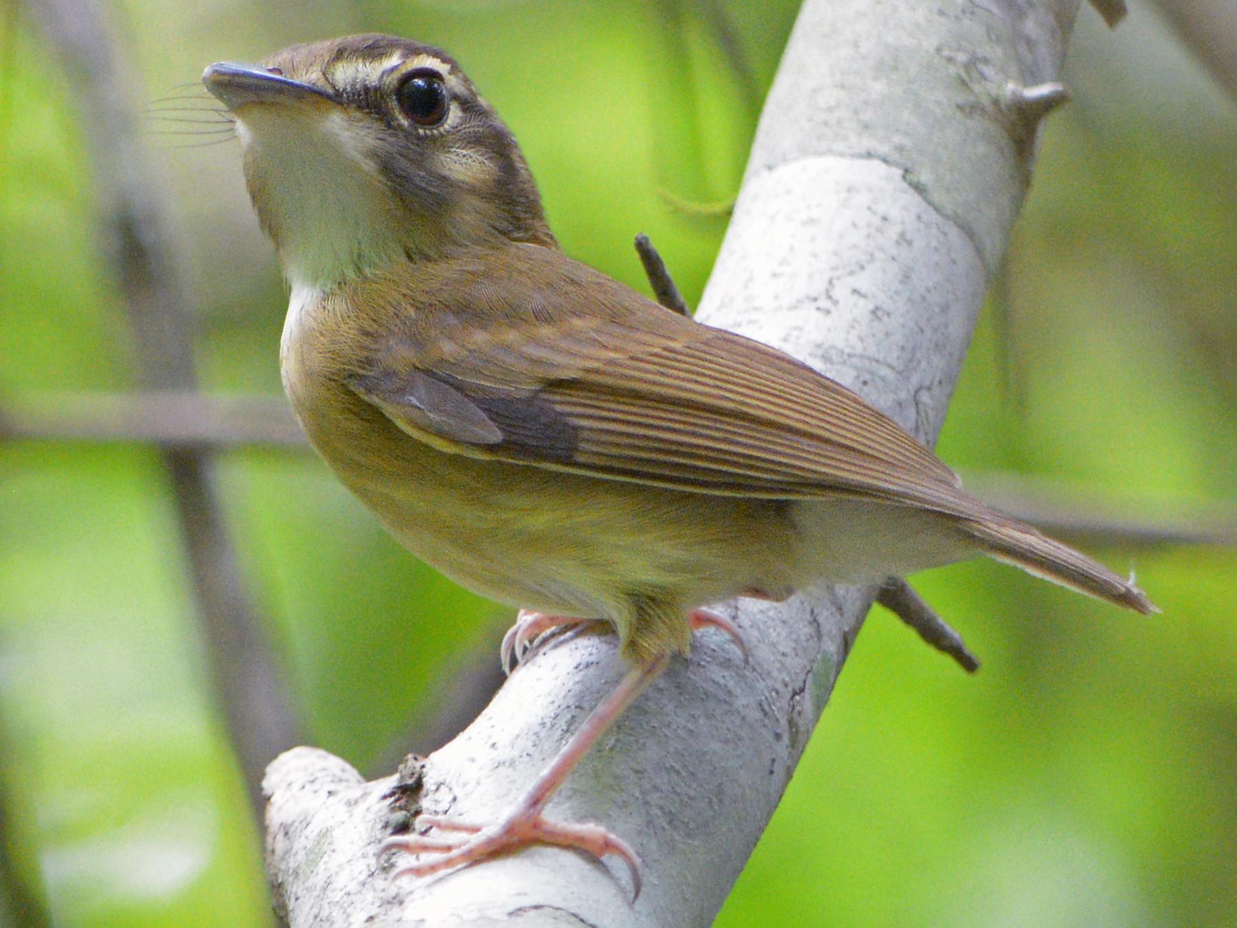 Stub-tailed Spadebill - Jorge Dangel