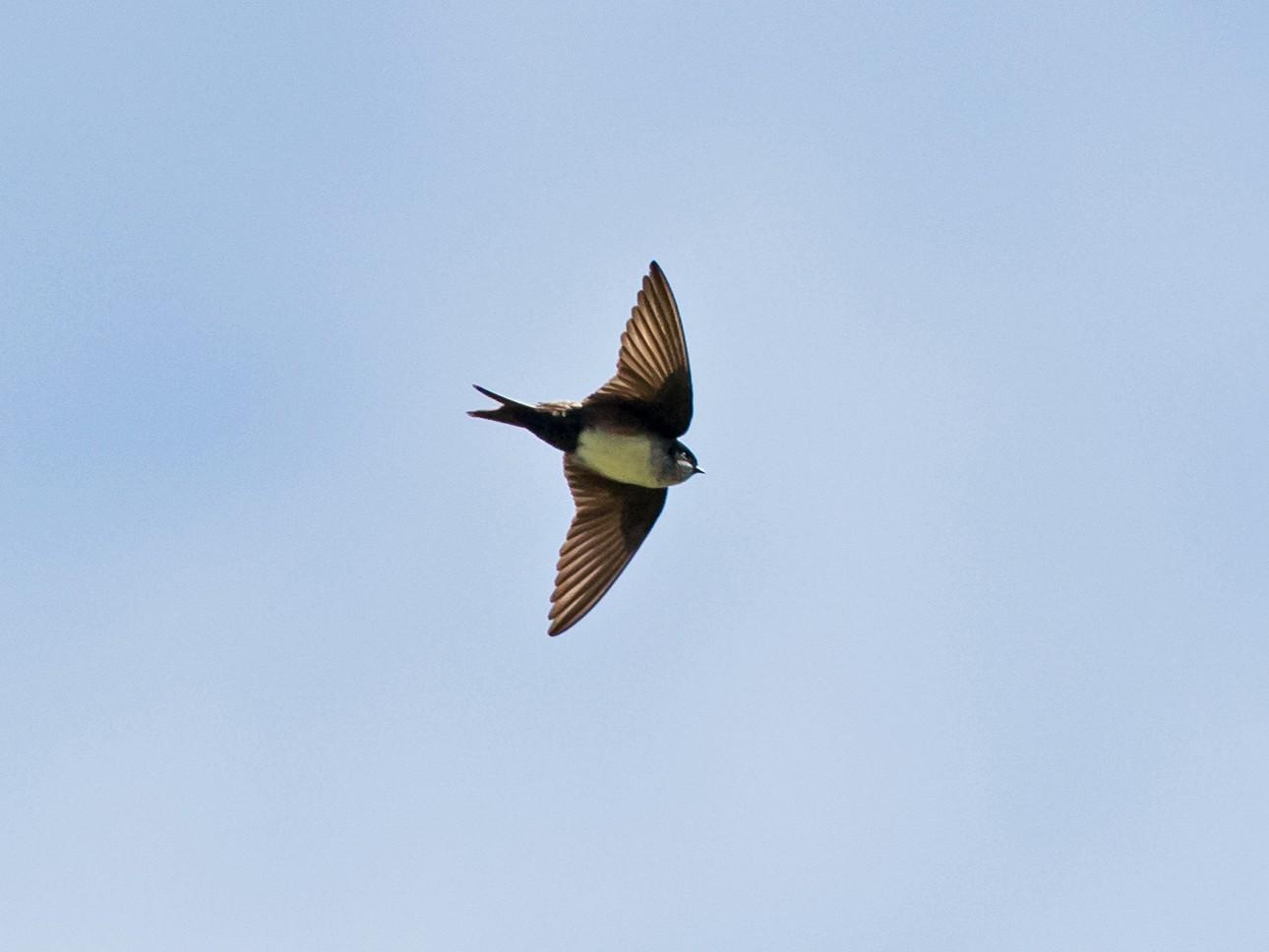 Black-capped Swallow - Vivek Menon