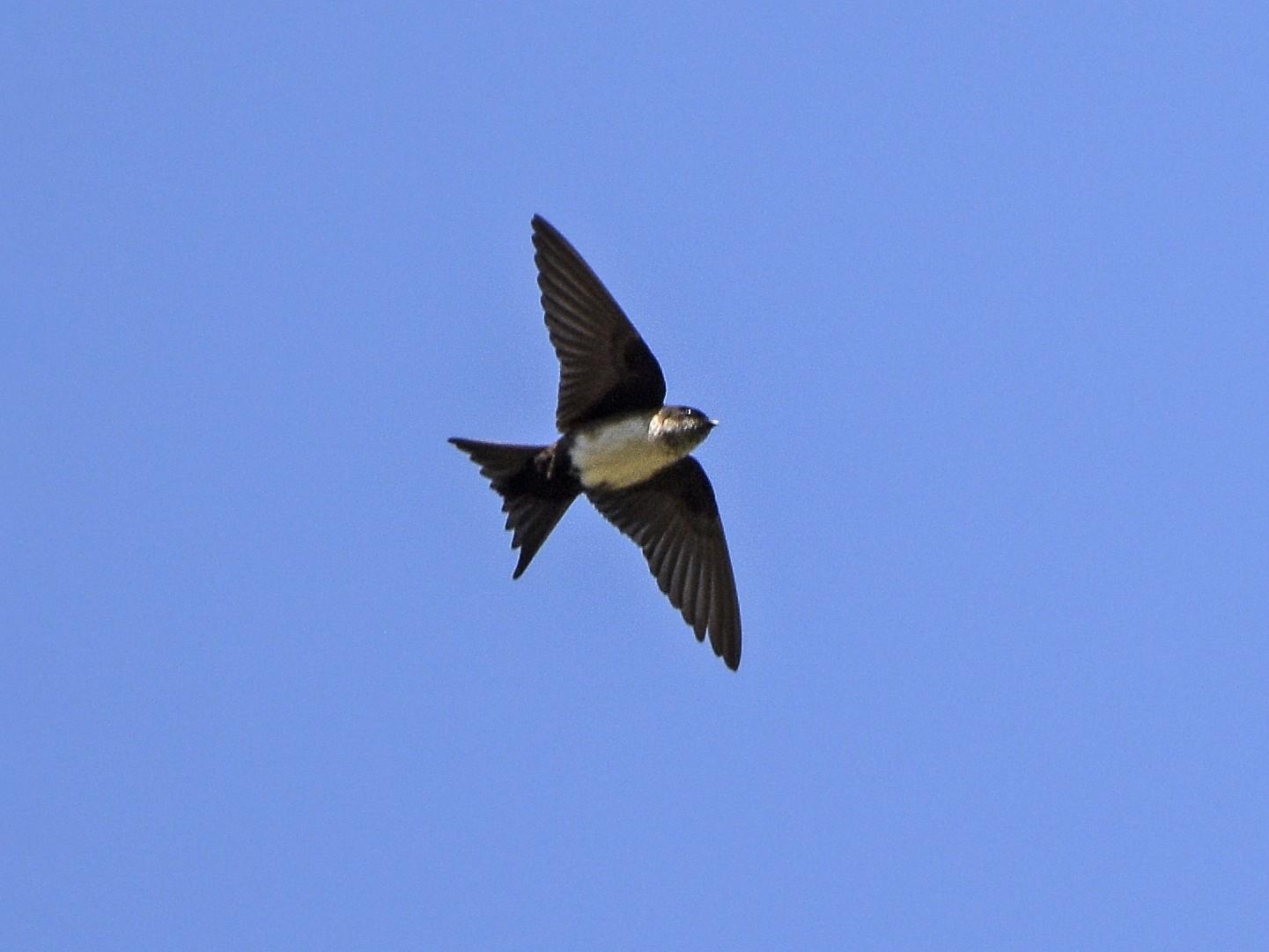 Black-capped Swallow - Carlos Echeverría