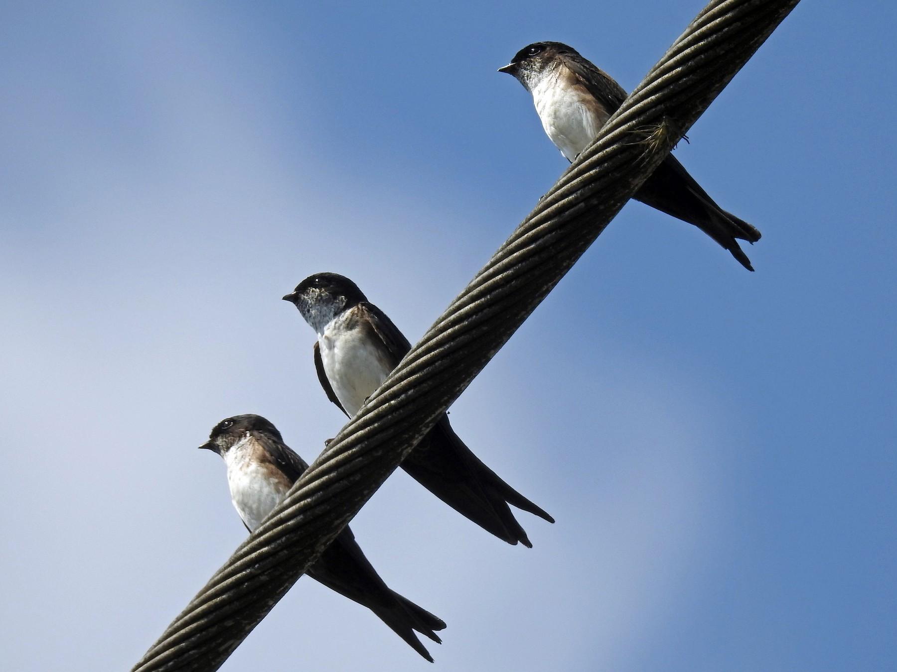 Black-capped Swallow - Rudy Botzoc