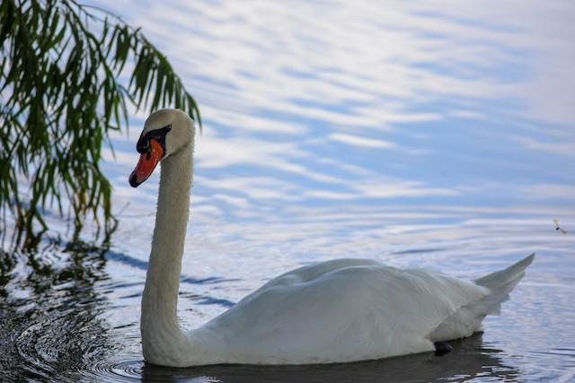 ©Jeffrey Mann - Mute Swan