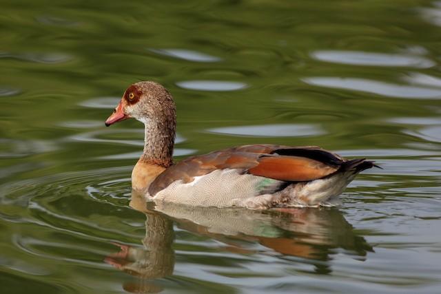 ©Jeffrey Mann - Egyptian Goose