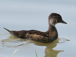 Wood Duck, ML358033741