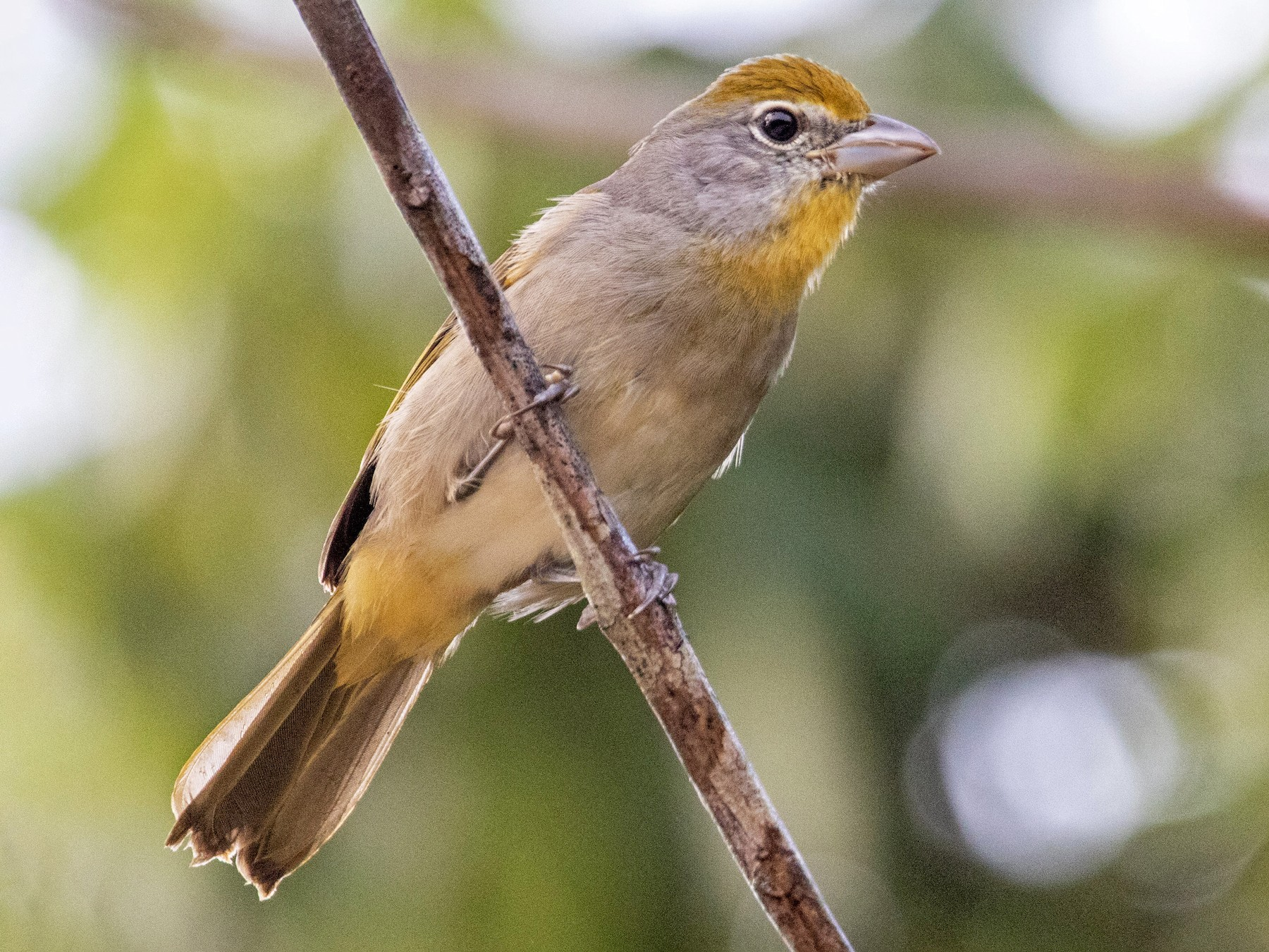 Rose-throated Tanager - Tim Ludwick