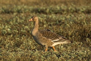 Greater White-fronted Goose, ML35821641