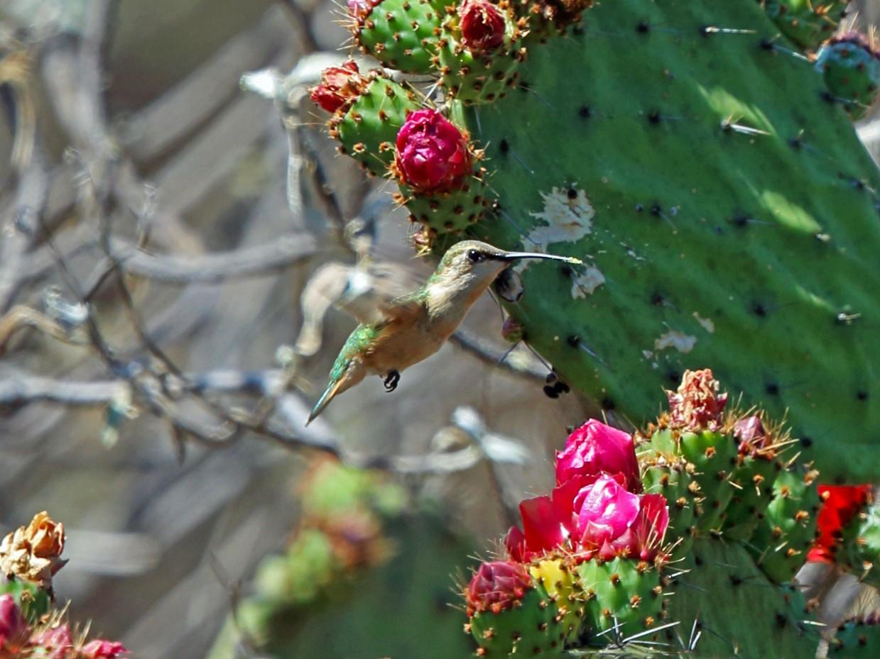 Beautiful Hummingbird - Nigel Voaden