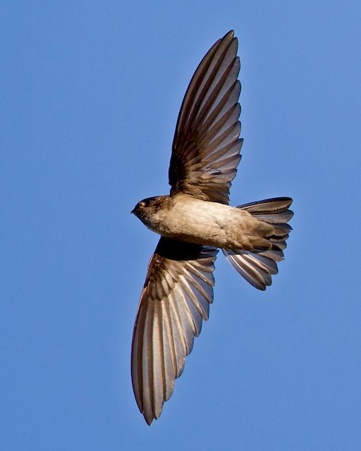 White-rumped Swiftlet