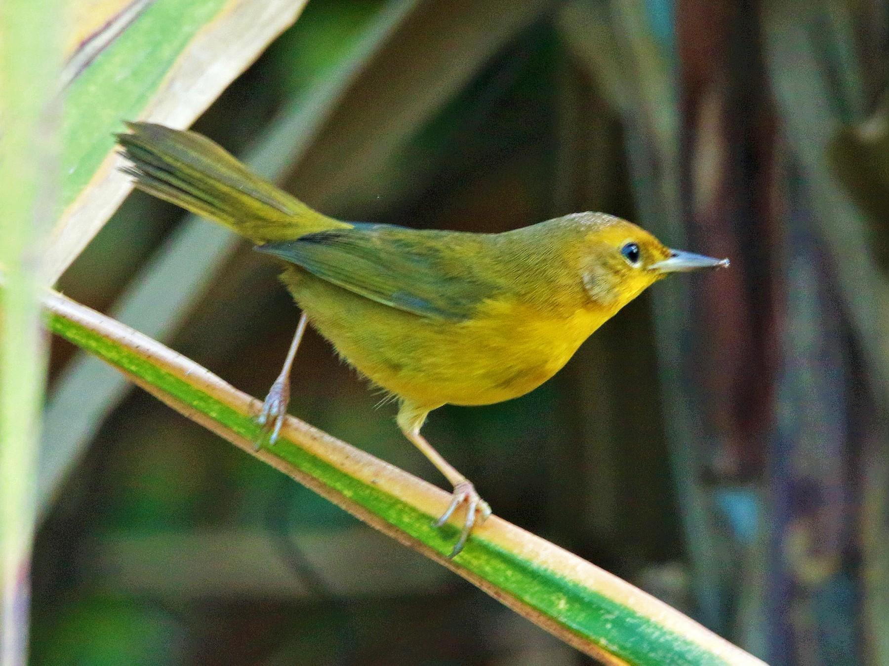 Altamira Yellowthroat - FELIPE SAN MARTIN