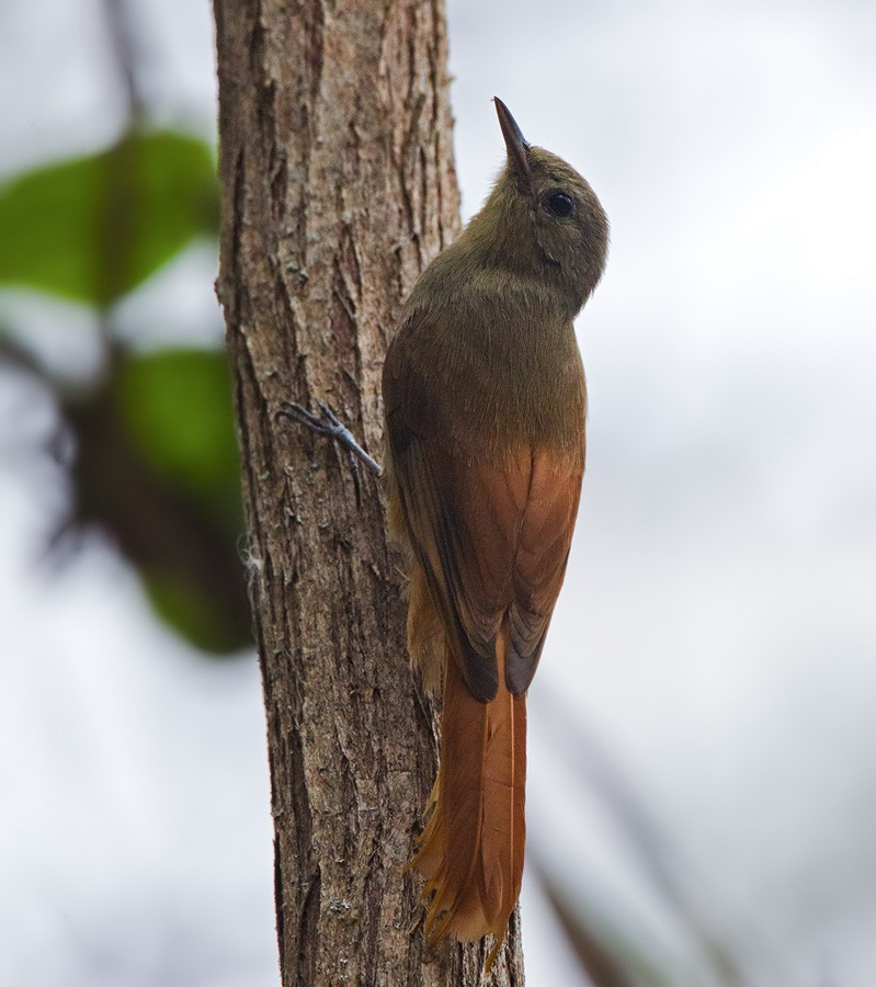 Olivaceous Woodcreeper - Lars Petersson
