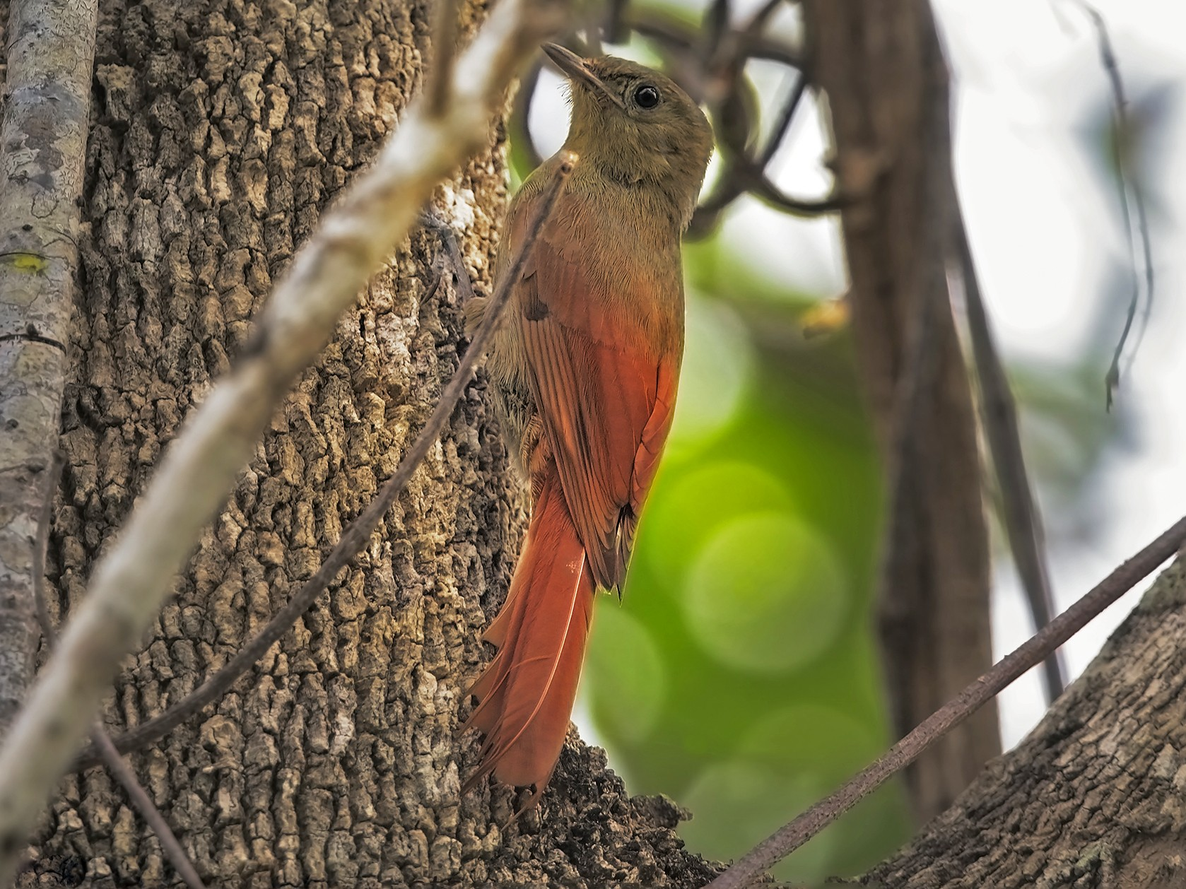 Olivaceous Woodcreeper - Marco Valentini