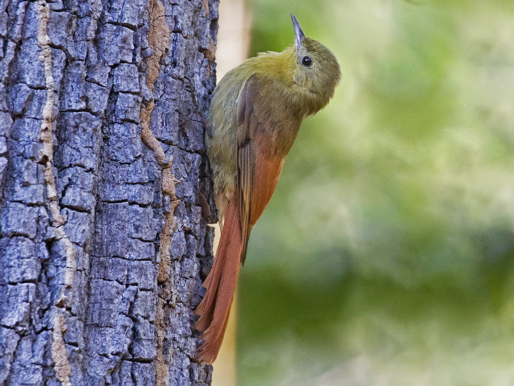 Olivaceous Woodcreeper - Cristine Prates