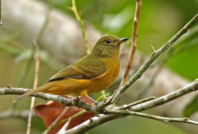 Ochre-bellied Flycatcher