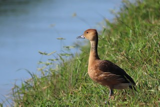 Fulvous Whistling-Duck, ML359891061