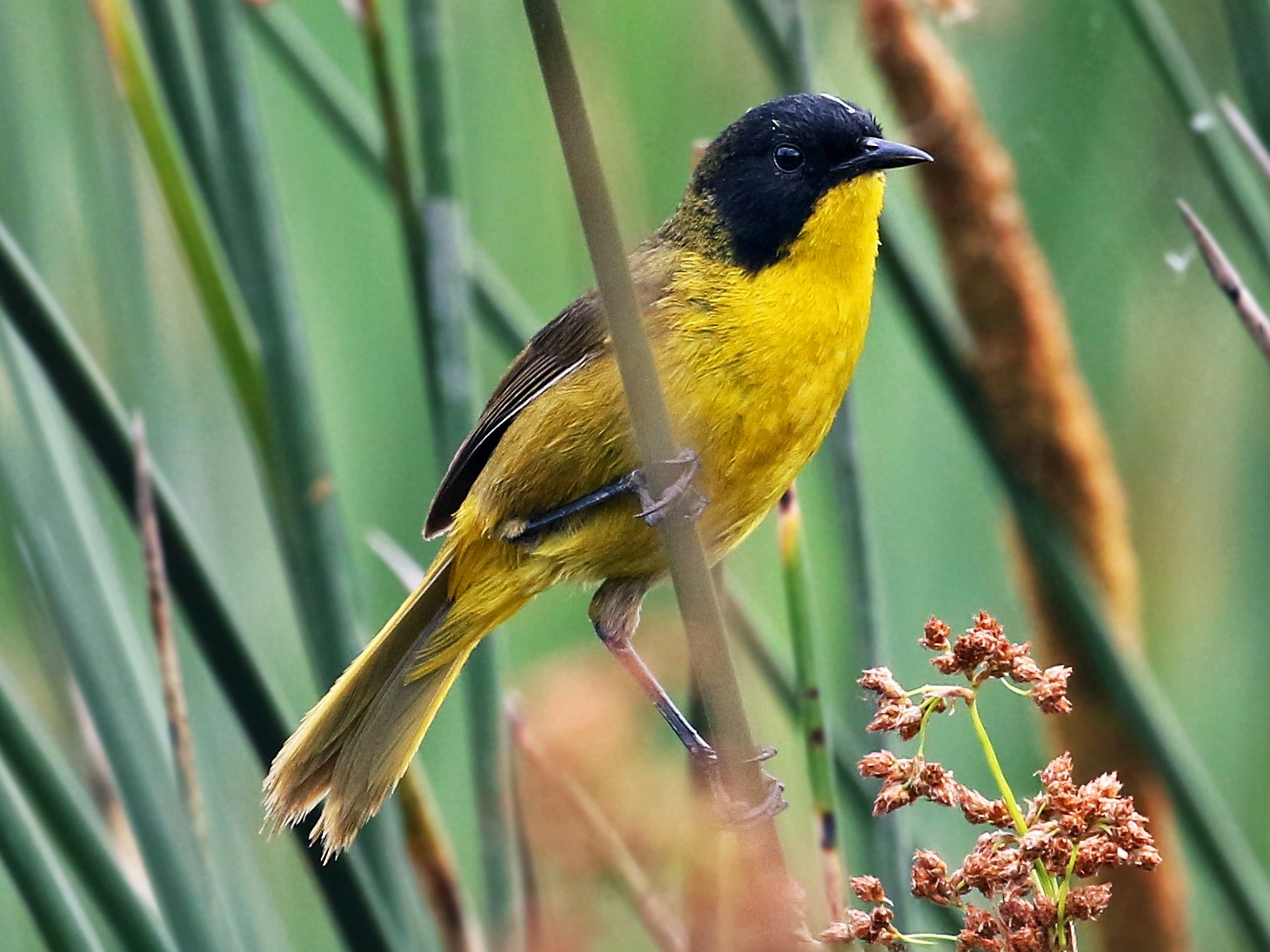 Black-polled Yellowthroat - Andrew Spencer