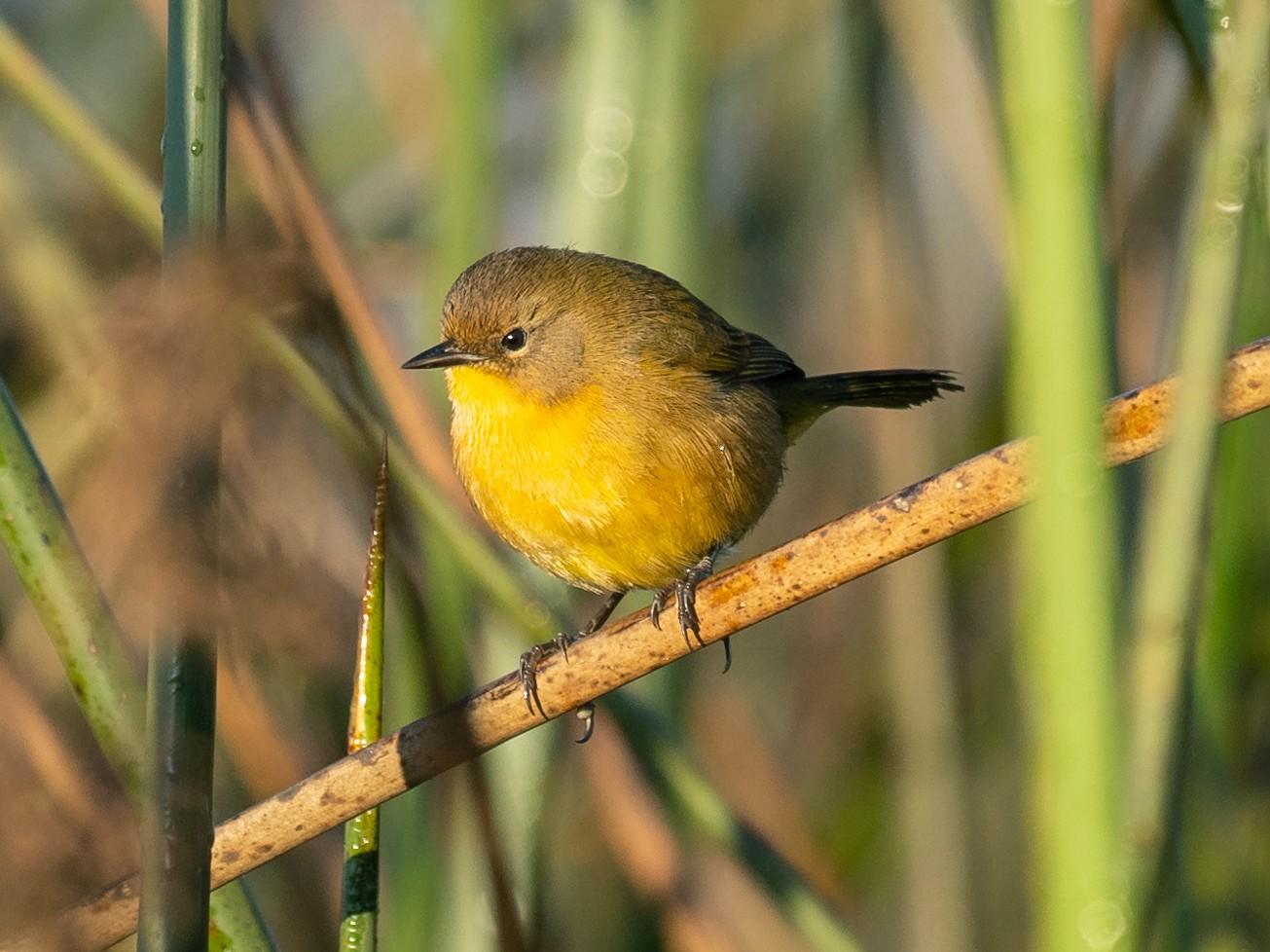 Black-polled Yellowthroat - Patrick Van Thull