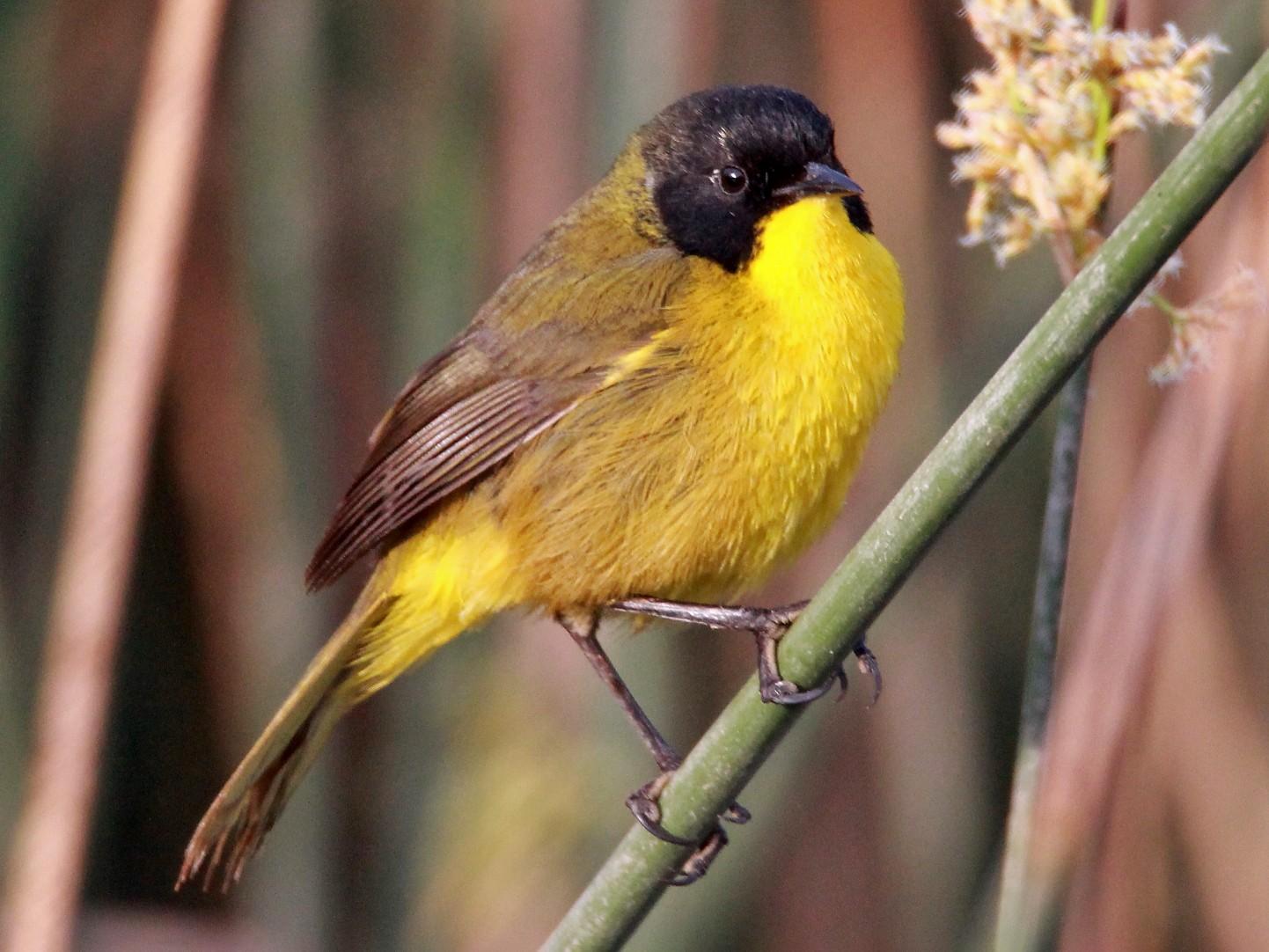 Black-polled Yellowthroat - Paul Lewis