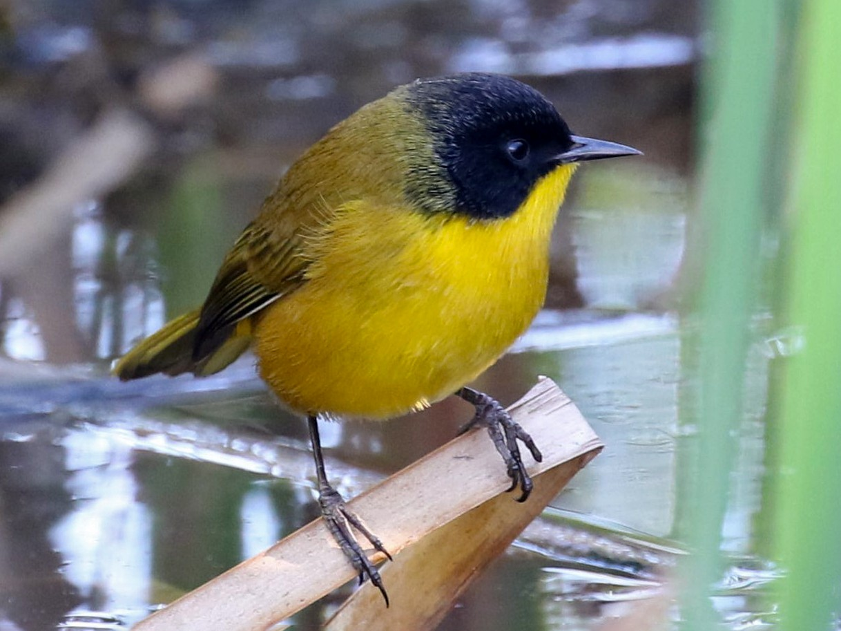 Black-polled Yellowthroat - Bob Friedrichs