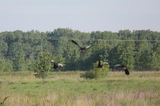 Black-bellied Whistling-Duck (fulgens), ML360553561