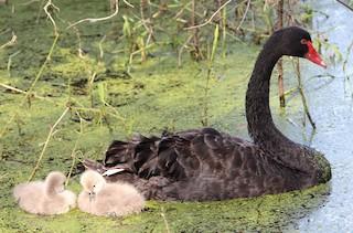 Black Swan, ML360702631