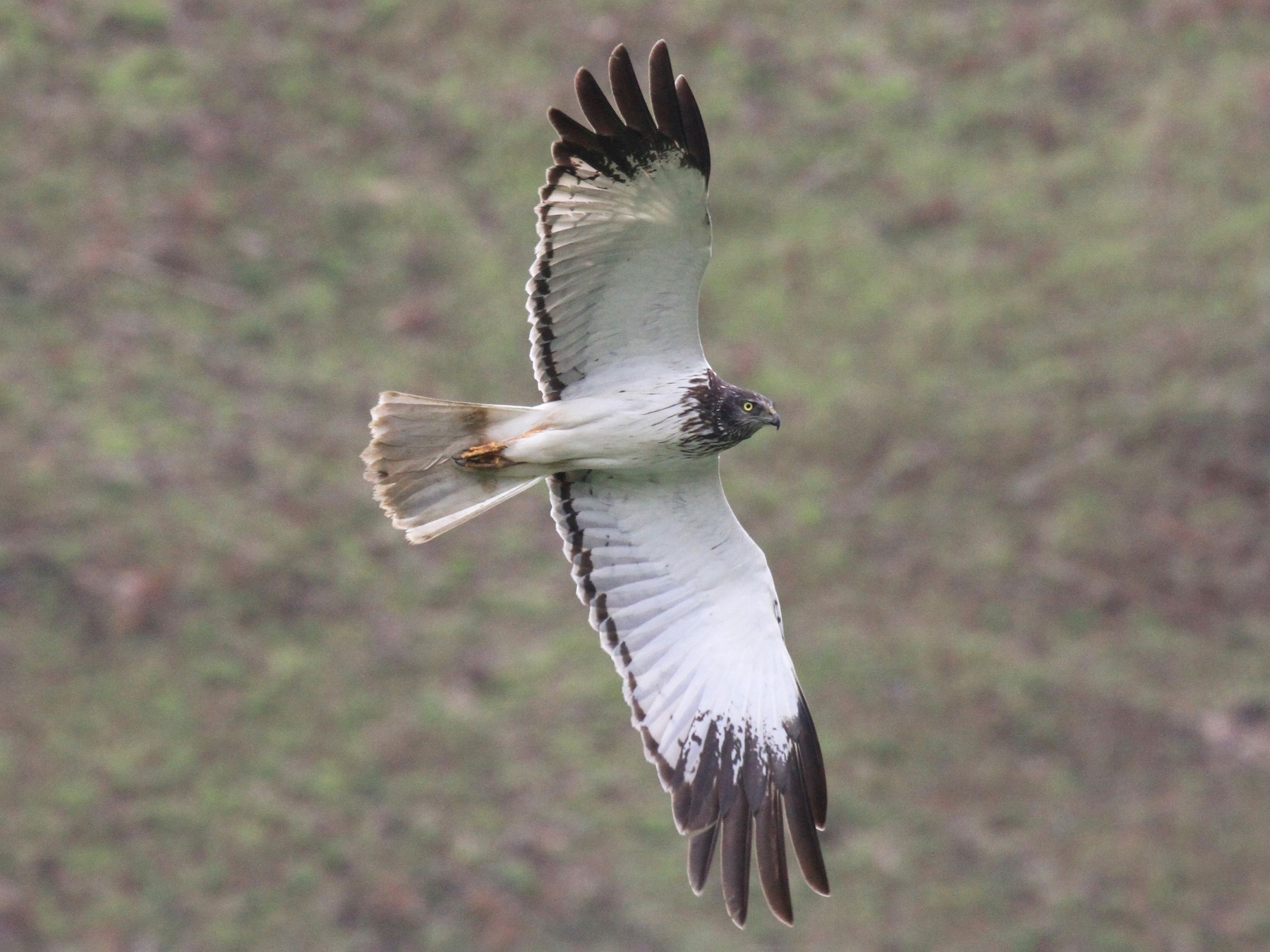 Malagasy Harrier - Charles Davies