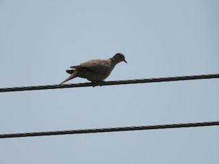 Eurasian Collared-Dove, ML360884241