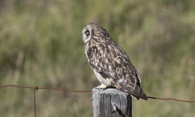 Short-eared Owl (Hawaiian)